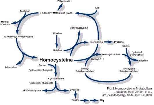 Die Grafik liefert einen knappen Überblick zum Homocysteinstoffwechsel. Zu bemerken: Cholin wird zu Homocystein transformiert, welches wiederum zu Methionin, einer anderen Aminosäure, umgewandelt wird.