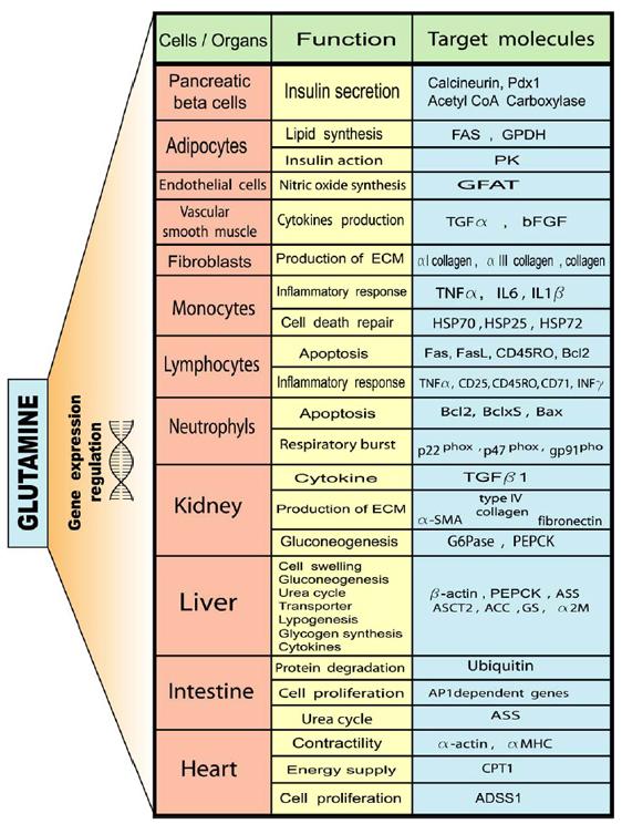 Schematische Darstellung der Rolle von Glutamin in der Zellfunktion