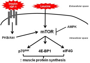 Die Post-Workout Phase, die Proteinsynthese und mTOR