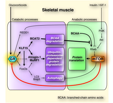 Kruppel-like Factor 15: Fettstoffwechsel & Fitness
