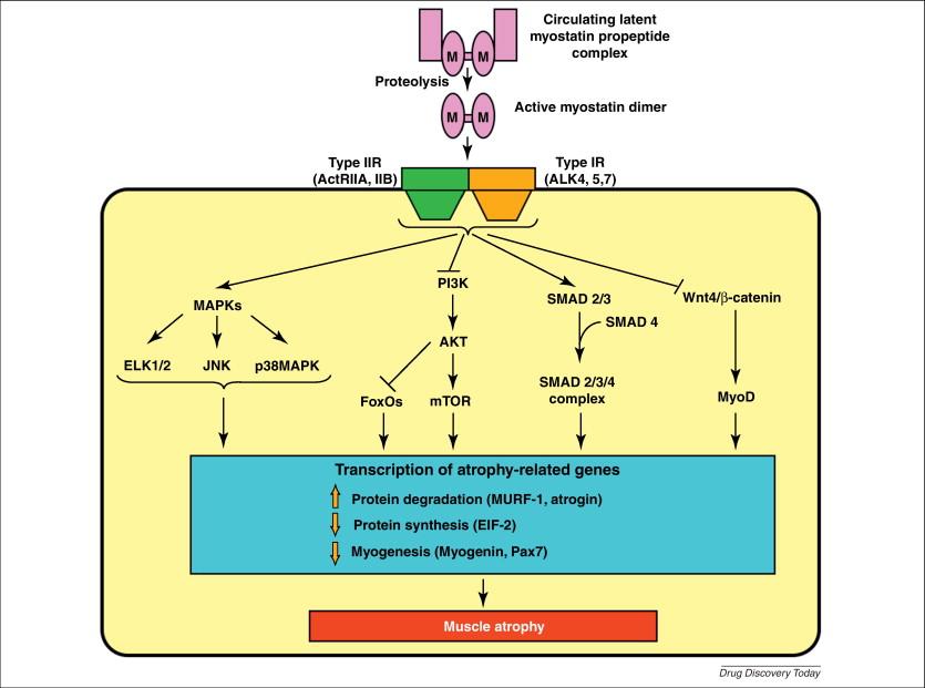 [A] Der Wirkungsmechanismus von Myostatin und sein Effekt auf den Zellkern über SMADs