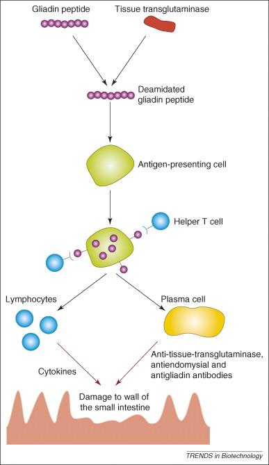 Glutenintoleranz: Lektine & Gliadin. Nahrungsgift?