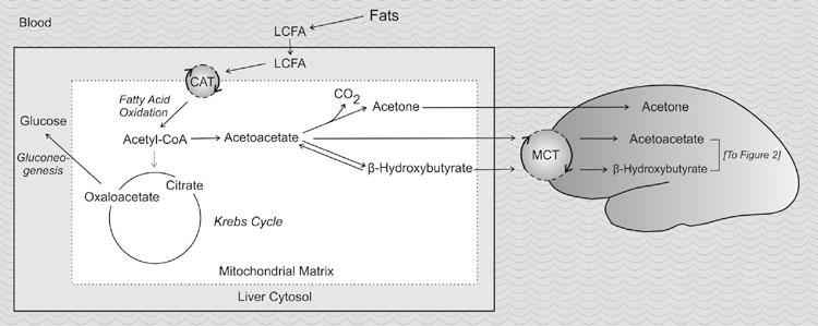 Hartman_et_al_ketone_metabolism_AesirSports_Figure_1