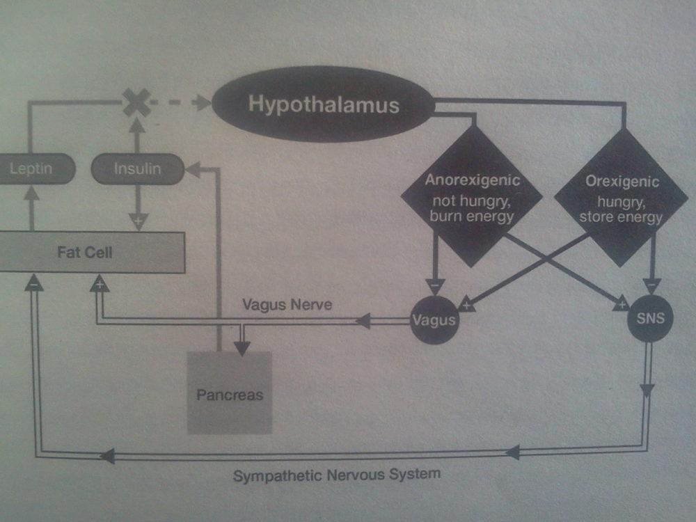 """Die Regulation der Energiebalance ist eine Sache der (Zusammen-)Arbeit von Gehirn und der beteiligten Hormone. Der Hypothalamus erhält sein Signal durch die Fettzellen (Leptin), welches auf zwei Arten interpretiert werden kann: a.) Anorexigenesis: Ich keinen Hunger und hab Bock mich zu bewegen (sympathisches Nervensystem: ON, Vagusnerv: OFF) oder b.) Orexigenesis: Ich hab Hunger und kein Bock mich zu bewegen (parasympathisches Nervensystem: ON; Vagusnerv: ON). Der Übeltäter – der """"Leptinator"""" – Insulin tritt als Blockade für das Leptin-Signal in Erscheinung. Die Folge: Appetitsteigerung, erhöhte Kalorienaufnahme, Gewichtszunahme. Quelle: Fat Chance, S. 37."""