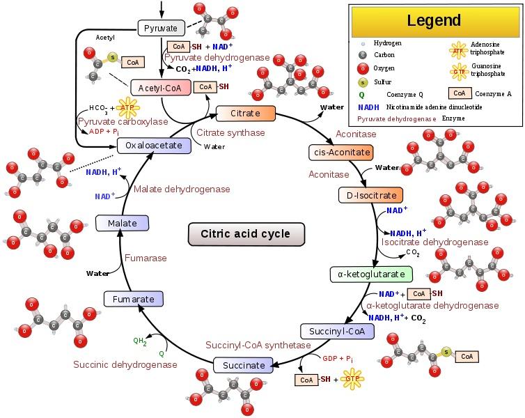 citricacidcycle