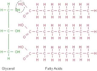 glycerol, fatty acids, triglyceride