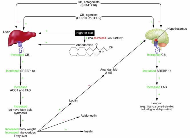 Figure: Das vorgestellte Modell von Lichtman/Cravatt (2005) beschreibt den Wirkungsmechanismus von Marijuana über den SREBP-1c Signalpfad im Hypothalamus, dessen Wechselbeziehung zur Leber, die Fettsäuresynthese, sowie die damit verbundenen negativen Effekte auf Hormone, die das Ernährungsverhalten beeinflussen. [29]