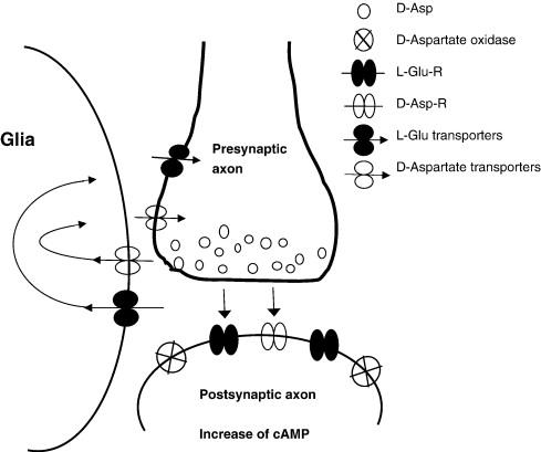 D-AA, ein Signalmolekül? Die Grafik zeigt einige der Rollen, die der Neurotransmitter in der Synapse spielt. Zum einen könnte eine D-Aspartat-Ausschüttung postsynaptisch auf die die L-Glu-Rezeptoren und die (angeblichen) D-Aspartat-Rezeptoren einwirken. Die Arbeit von D-Asparatat wird in dem Fall durch die sogenannte D-Aspartate oxidase unterbrochen. Darüber hinaus ist D-Aspartat in der Lage in Neuronen und Gliazellen über L-Glu-Transporter zu gelangen (wodurch es zu Interferenzen mit der L-Glu-Transmission kommt; Folge: die Halbwertszeit von L-Glu im synaptischen Spalt wird so verlängert!). Es wird ebenfalls über bis dato noch unidentifizierte D-Aspartat-Transporter spekuliert. (Bildquelle: D'Aniello et al. (2007))
