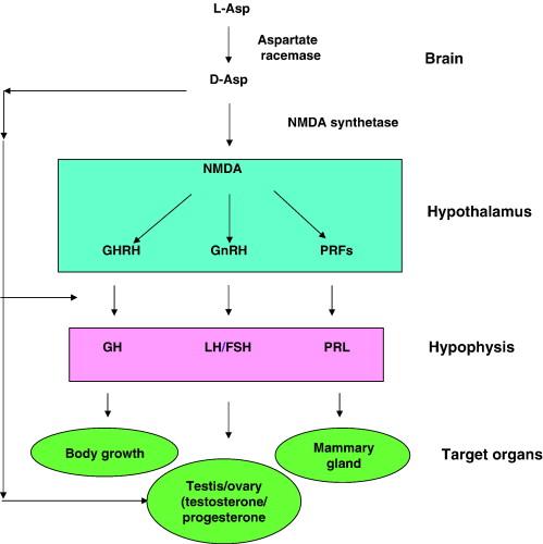Die Grafik zeigt die direkten und indirekten Effekte (Signalwege) von D-AA & NMDA auf die Hormone, wirksam durch die Hypothalamus-Hypophysen-Gonaden-Achse. Wie wir bereits aus dem Artikel erfahren haben, wirken die Substanzen auf zwei elementaren Wegen. Erster Pfad: 1.) Im Gehirn wird L-Asparatat z.T. durch das Enzym Aspartate racemase zu D-Asparat konvertiert, wo es anschließend 2.) in NMDA, ein weiteres Signal-Metabolit, umgewandelt wird (mittels NMDA synthetase). Das im Gehirn produzierte NMDA sorgt für 3.) eine erhöhte GHRH-, GnRH- und PRFs Faktoren-Ausschüttung, welche wiederum 4.) in der Hypophyse für die Ausschüttung des Wachstumshormons, des Luteinisierenden Hormons, des Follikelstimulierenden Hormons, sowie des Prolaktins sorgt. 5.) Das Luteinisierende Hormon und das Follikelstimulierende Hormon kurbeln nun die Testosteron- und Progesteronproduktion in den Hoden bzw. Eierstöcken an. Zweiter Pfad: 1.) D-Aspartat besitzt eine geringe Einflusskraft auf die Hypophyse – und sorgt selbst für eine Ausschüttung des Luteinisierenden Hormons und des Folllikelstimulierenden Hormons, welches anschließend 2.) in den Hoden bzw. den Eierstöcken die Testosteron- bzw- Progesteronproduktion ankurbelt. (Bildquelle: D'Aniello et al. (2007))