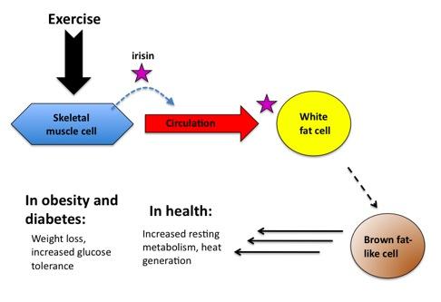 Geht die Milchmädchenrechnung auf? Die durch Sport induzierte Expression von Irisin (über PGC1-α & FNDC5) sorgt für eine Umwandlung von weißem Fettgewebe in braunes, energiehungriges Fettgewebe. Die Folge: Sportler profitieren von einem höheren Energieverbrauch und einer höheren Wärmeproduktion des Körpers. (Bildquelle: Nature.com)