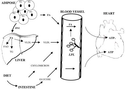 LPL sorgt nicht nur für mehr Energie in Skelettmuskulatur und Fettgewebe, sondern versorgt auch das Herz mit Fettenergie - und das aus drei unterschiedlichen Quellen, nämlich a.) die Lipolyse aus Fettzellen, b.) durch Triglyeridzerlegung über die Leber und c.) mit Hilfe sog. Chylomikrone über den Darm. (Bildquelle: European Journal of Cardiology)