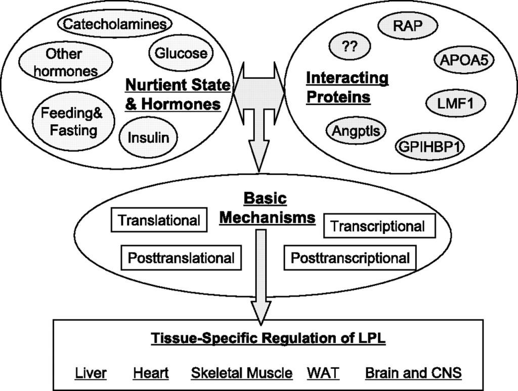 Nährstoffpartitionierung, Training, Ernährung & Lipoprotein Lipase