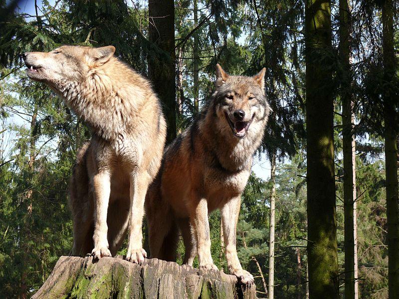 Run with the pack: Ein Wolfsrudel besitzt eine klare Hierarchiestruktur. Der Leitwolf stellt das Alphatier dar.