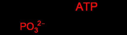 Wer hart trainieren will, braucht ATP! Je besser die ATP Versorgung und Regeneration, desto intensiver könnt ihr euren Körper rannehmen. Creatin dient in diesem Zusammenhang als Phosphatspender (P) und beschleunigt damit die Regeneration von ATP aus ADP. (Bildquelle: Wikipeda.de)