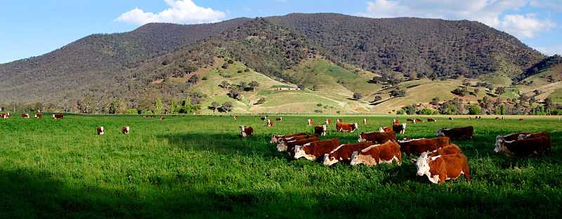 Grasgefüttertes Rind - So muss das aussehen, meine Freunde! (Bildquelle: Wikipeda.de)