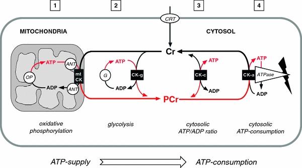Das Creatin-Phosphat-System verfügt über eine wichtige Pufferfunktion