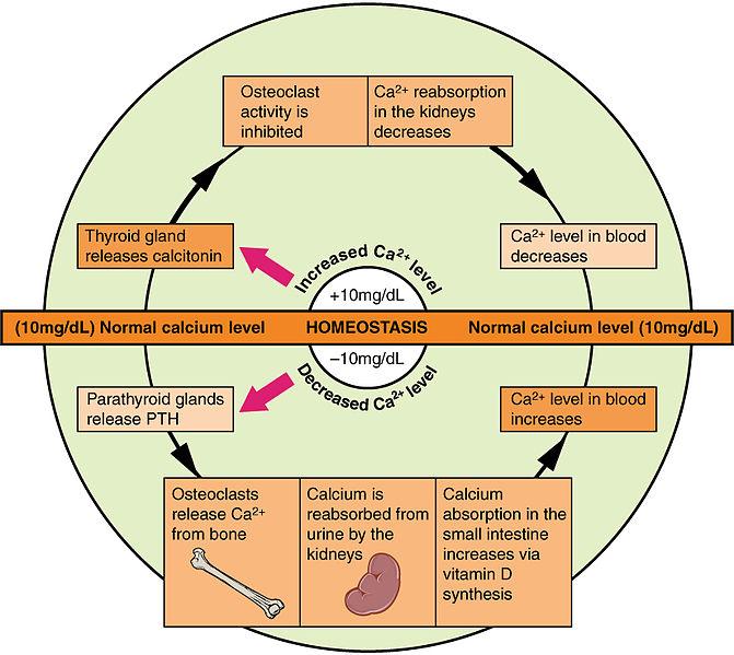 Kalziumstoffwechsel_Knochenstoffwechsel
