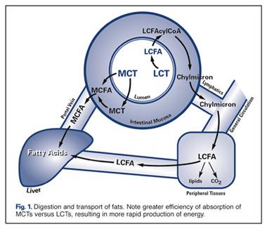 MCT-Stoffwechsel