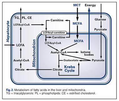 Blackbox Leber: Die MCTs werden in den Leberzellen, den Hepatozyten, zu Fettsäuren zerlegt (MCFAs)
