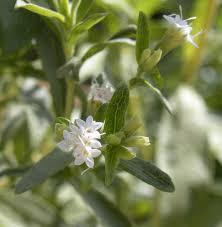 Stevia Rebaudiana: Aus den Blättern wird das natürliche Süßungsmittel mit dem etwas gewöhnungsbedürftgen Eigengeschmack gewonnen.