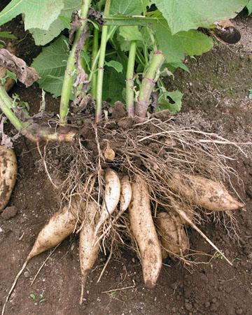 Der Exot unter den natürlichen Süßungsmitteln: Die Yaconpflanze. Leider schwer zu kriegen und sehr teuer. (Bildquelle: )