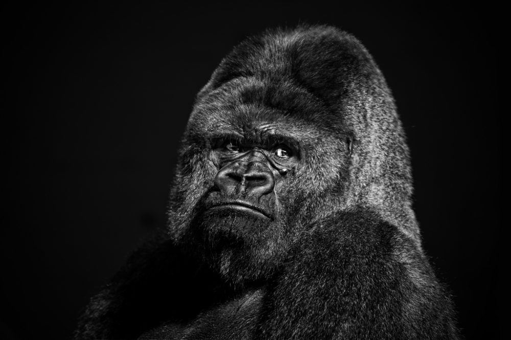 Bro, do you even silverback? (Bildquelle: Flickr / ; CC Lizenz)