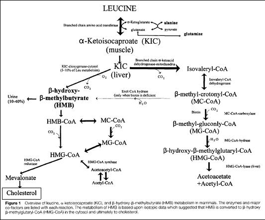 Der HMB-Stoffwechsel zeigt den Ursprung des Metabolits. (Bildquelle:
