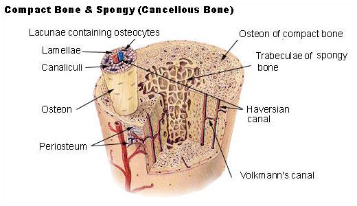 Schweres Krafttraining zerstört die Knochen und Gelenke