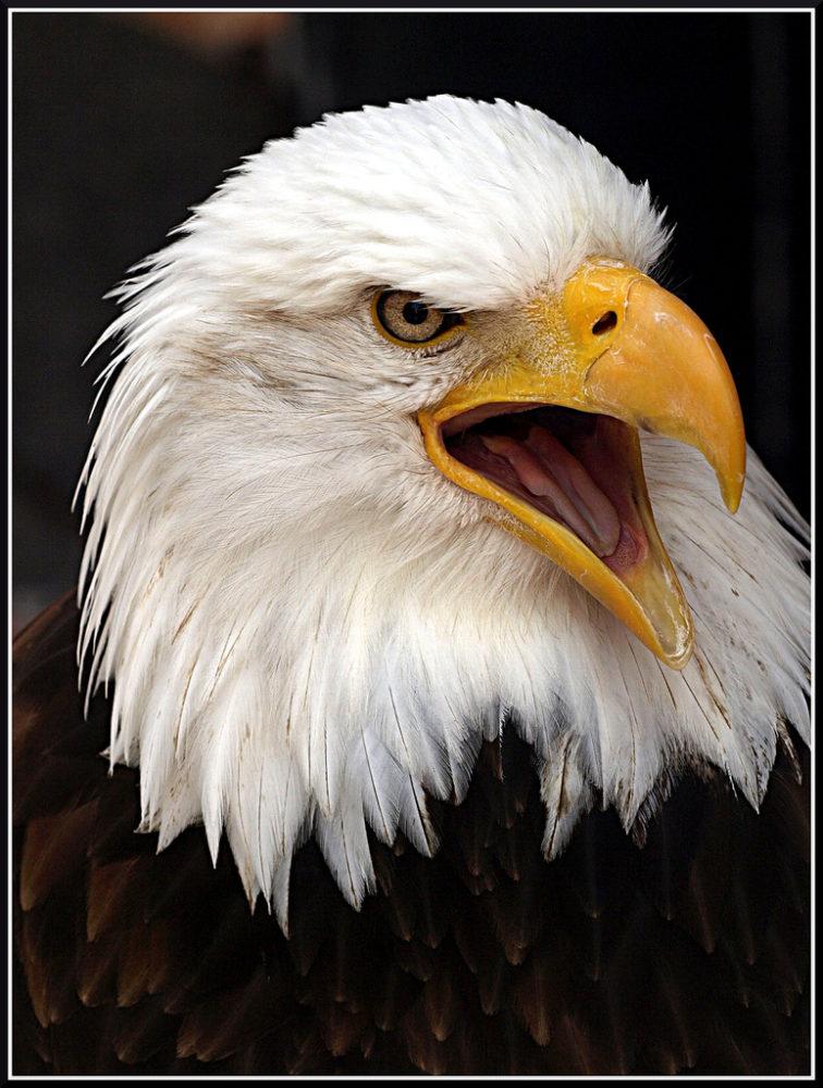 Aquila non captat muscas - Ein Adler fängt keine Fliegen