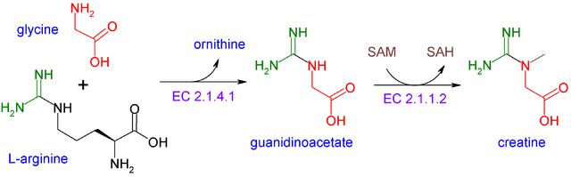 Kreatin: Eine natürliche Substanz, die sich aus den Aminosäuren Arginin, Glycin und Methionin zusammensetzt (Bildquelle: Wikimedia.org / ; CC Lizenz)