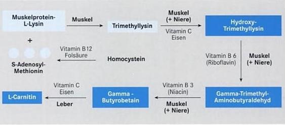 Alles über L-Carnitin - Schlankmacher oder Hype?