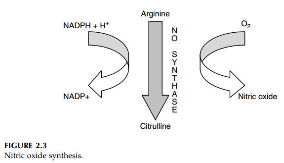 """NO-Produktion sorgt für einen größeren """"Pump""""-Effekt und eine bessere Durchblutung der Muskulatur (Bildquelle: Wolinsky/Driskell (2004))"""