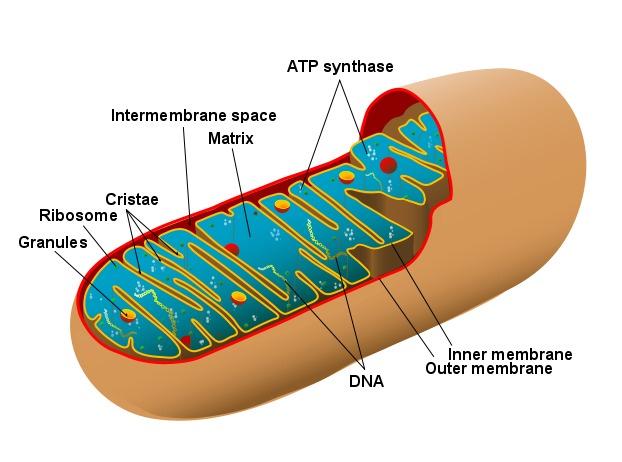 Leistungsfähigkeit in einem Wort: Mitochondrium