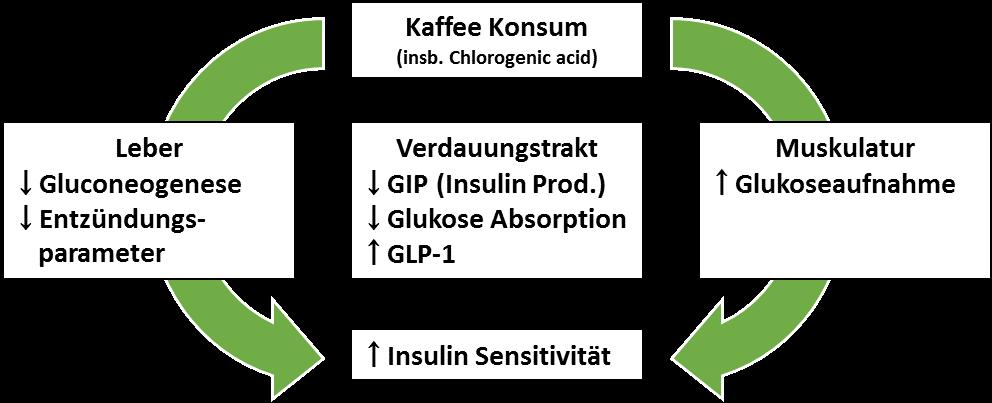 Abb. 12: Kaffee und insbesondere die in Kaffee enthaltene Chlorogensäure wirkt auf Leber, Verdauungstrakt und Muskulatur und trägt so zu einer Steigerung der Insulinsensitivität bei.