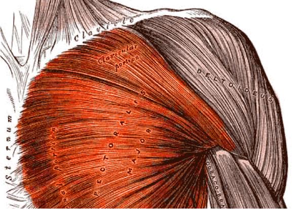 (Bildquelle: Wikimedia / Gray's Anatomy ; Public Domain Lizenz)