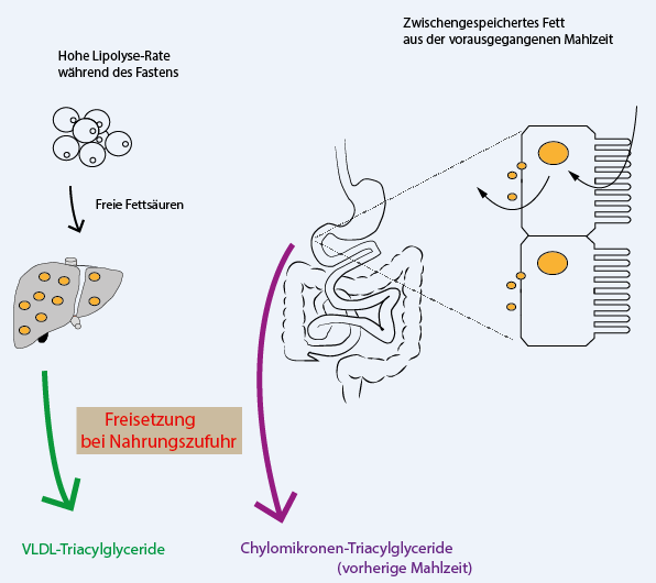 Abb. 2: Re-Organisation von Lipiden auf einen Nahrungsstimulus hin. Fasten-induzierte VLDL-Akkumulation in der Leber (links) und Zwischenspeicherung von Nahrungsfett in Zellen des Dünndarms (rechts) (Bildquelle: Copyright by Taimes / AesirSports.de)
