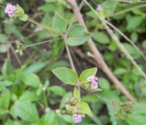 Boerhavia Diffusa (B.Diffusa) Guide: Auswirkung, Ergänzung & Dosierung