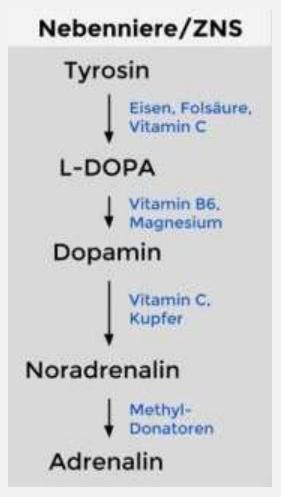 Stufe 2 Denken in Aktion: Wissen, wie Katecholamine produziert werden und welche Mikronährstoffe dafür notwendig sind. (Bildquelle: Das Handbuch zu Ihrem Körper, S.166)