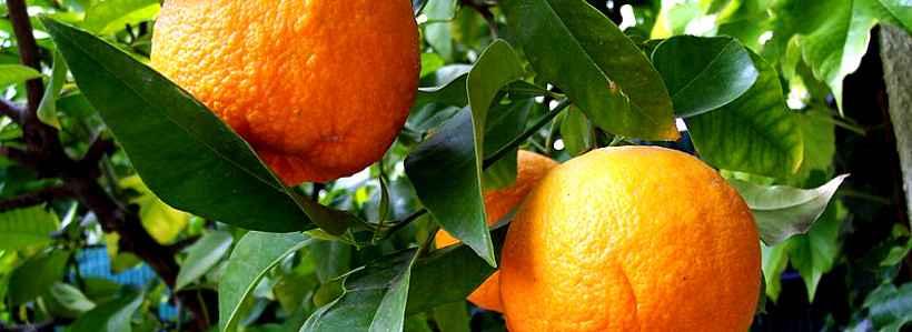 Guide to Citrus Aurantium (Synephrin): Auswirkung, Ergänzung und Dosierung
