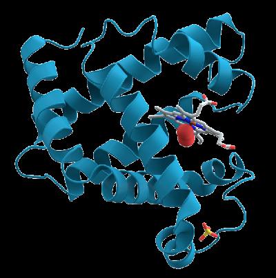 Myoglobin und Rhabdomyolyse