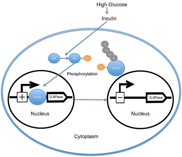 FOXO1 aktiviert anabolen Signalweg