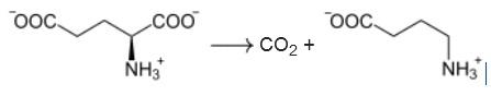 GABA-Synthese