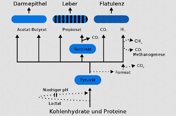 Unsere kleinen Helfer: Die Darmflora verwertet Nahrungsmittelbestandteile, die wir selbst nicht nutzen (können). Am Ende entstehen wiederum Komponenten, die Darm (Buttersäure) und Leber (Propionat) verwerten. Als Nebenprodukt entstehen Gase.