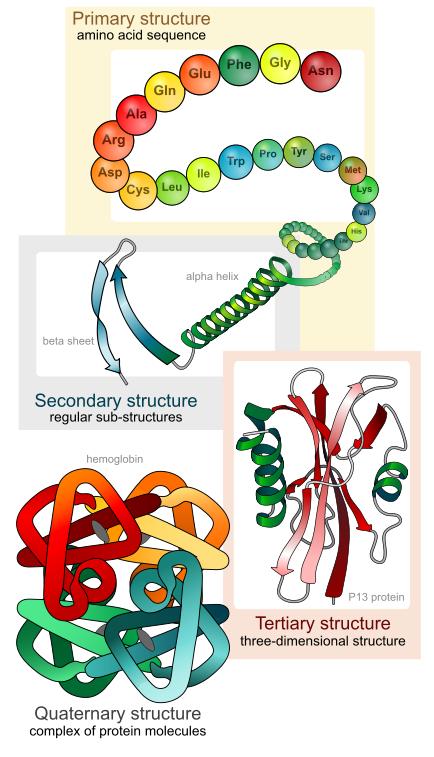 Proteine sind Aminosäureketten