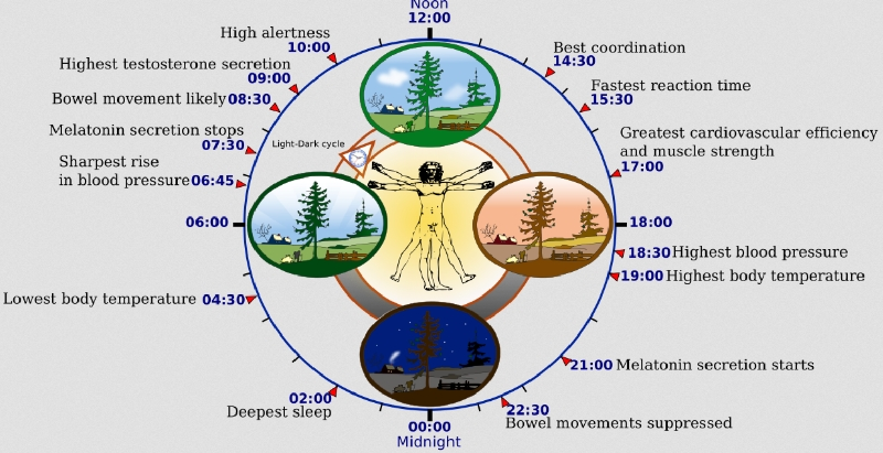 24-Hour-Human-Circadian-rhythm