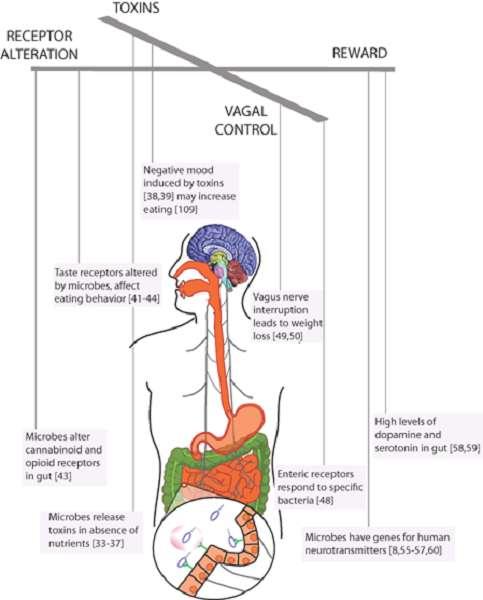 Die Bakterien in unserem Darm haben eine Großzahl an Möglichkeiten uns zu manipulieren. Dabei kontrollieren sie, ähnlich wie Marionettenspieler, unser Essverhalten, damit wir sie mit denen von ihnen bevorzugten Nährstoffen füttern [1]