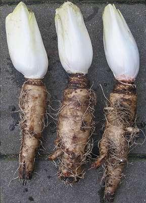 Reich an Ballaststoffen (Inulin): Die Chicorée-Wurzel. (Bildquelle: Wikimedia.org / Rasbak ; CC Lizenz)