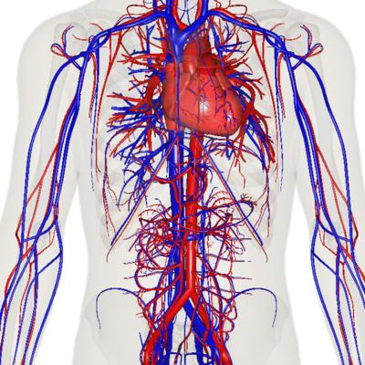 (Bildquelle: Wikimedia.org / Anatomography ; CC Lizenz)