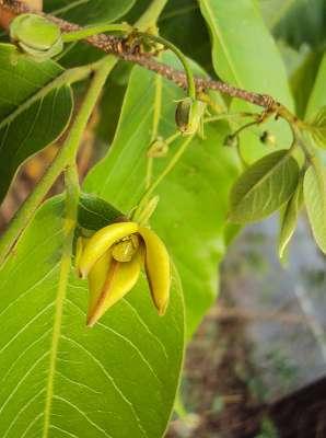 """Tomentosa Uncaria, auch als """"Katzenkralle"""" bekannt, kommt überwiegend in den Regenwäldern Süd-Amerikas vor. Es ist reich an Terpenoiden und Sterolen (darunter Beta-Sitosterol), Flavonoiden, Procyaniden und Katechinen. Extrakte der Katzenkralle unterstützen vor allem das Immunsystem, indem sie die Phagozytoseleistung von Fresszellen verstärken. (Bildquelle: Wikimedia.org / Vinavaraj ; CC Lizenz)"""