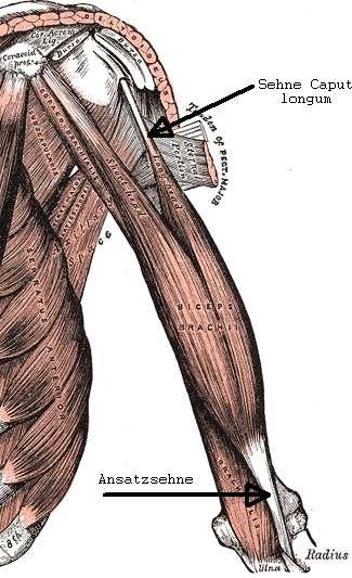 Sehnen sind für mechanische Bewegung überaus wichtig, denn sie verbinden den Muskel mit dem Knochen. (Bildquelle: Wikimedia.org)